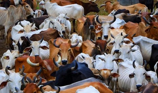 Jaipur, Rajasthan, Goshala, Gopalan Department, UID, Cows UID, Jaipur News, Rajasthan News, cows, aadhar card, uid, aadhar card for cows, uid number, aadhar for cows, hindi news, uidai, unique identification number, cows in india, aadhar card for cow