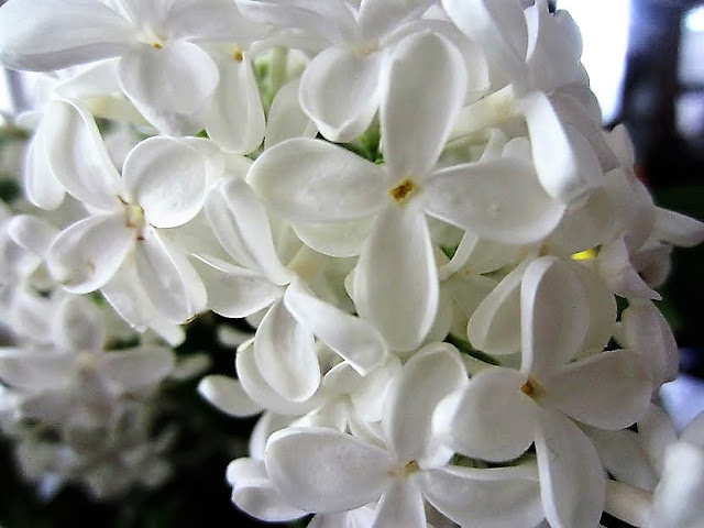 syreeni, valkoinen syreeni, kukka, kesa