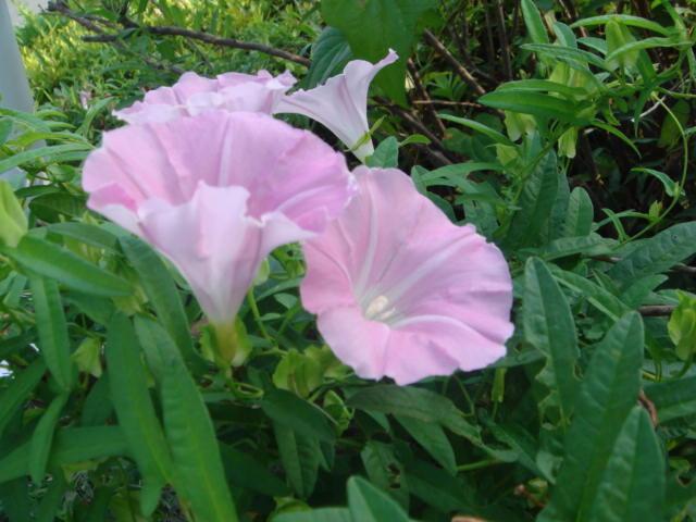京都市立病院 麻酔科ブログ: 昼顔の花言葉は「絆」あるいは… 京都市立...  京都市立病院 麻