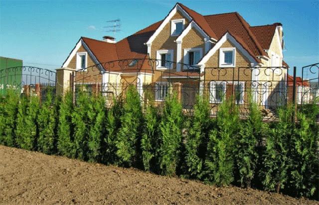 зеленые заборы, заборы,кусты для заборов,green fences, fences,bushes for the fences