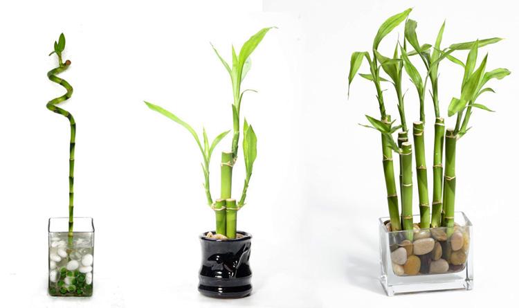 Blog Aurea - Bambu da Sorte: aprenda como cultivar e usar na decoração!