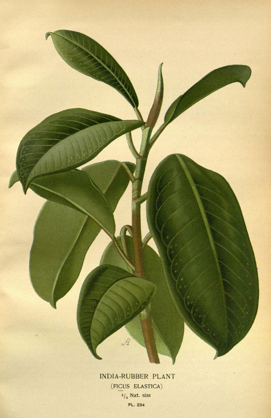 rubber plant ficus elastica trendy plants d 39 int rieur aix en. Black Bedroom Furniture Sets. Home Design Ideas
