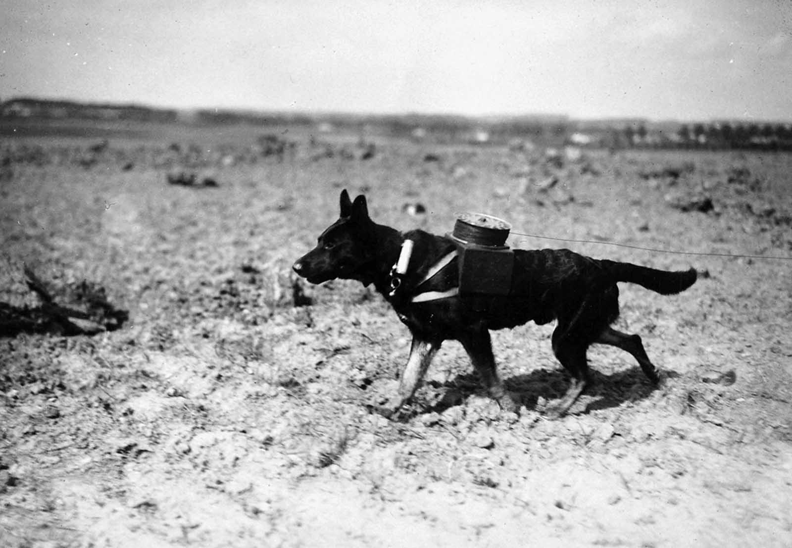 A messenger dog with a spool attached to a harness for laying out new electric line in September of 1917.