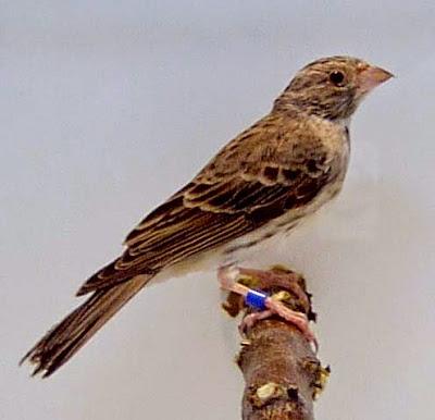 Download suara masteran burung sanger gacor ngerol dan nembak durasi panjang