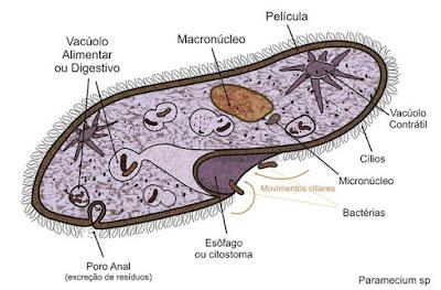 Paramecium sp