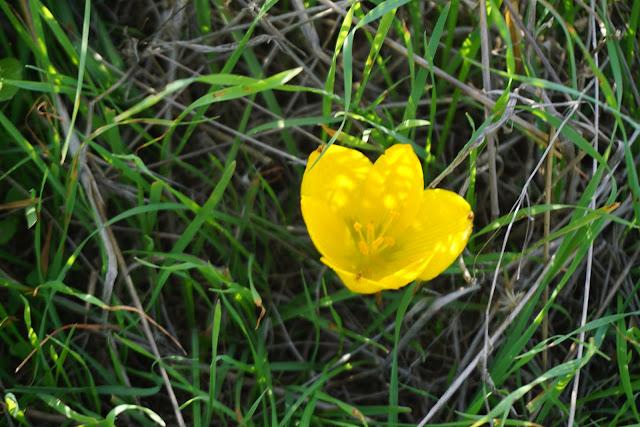 חלמונית צהובה בחניון להב