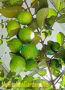 Growing Guava fruit in a pot