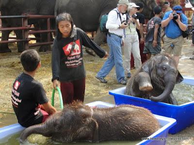 baby elephants bathing at ElephantStay village in Ayutthaya, Thailand