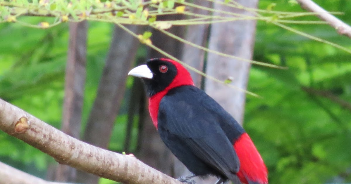 Viewing Nature With Eileen Crimson Collared Tanager