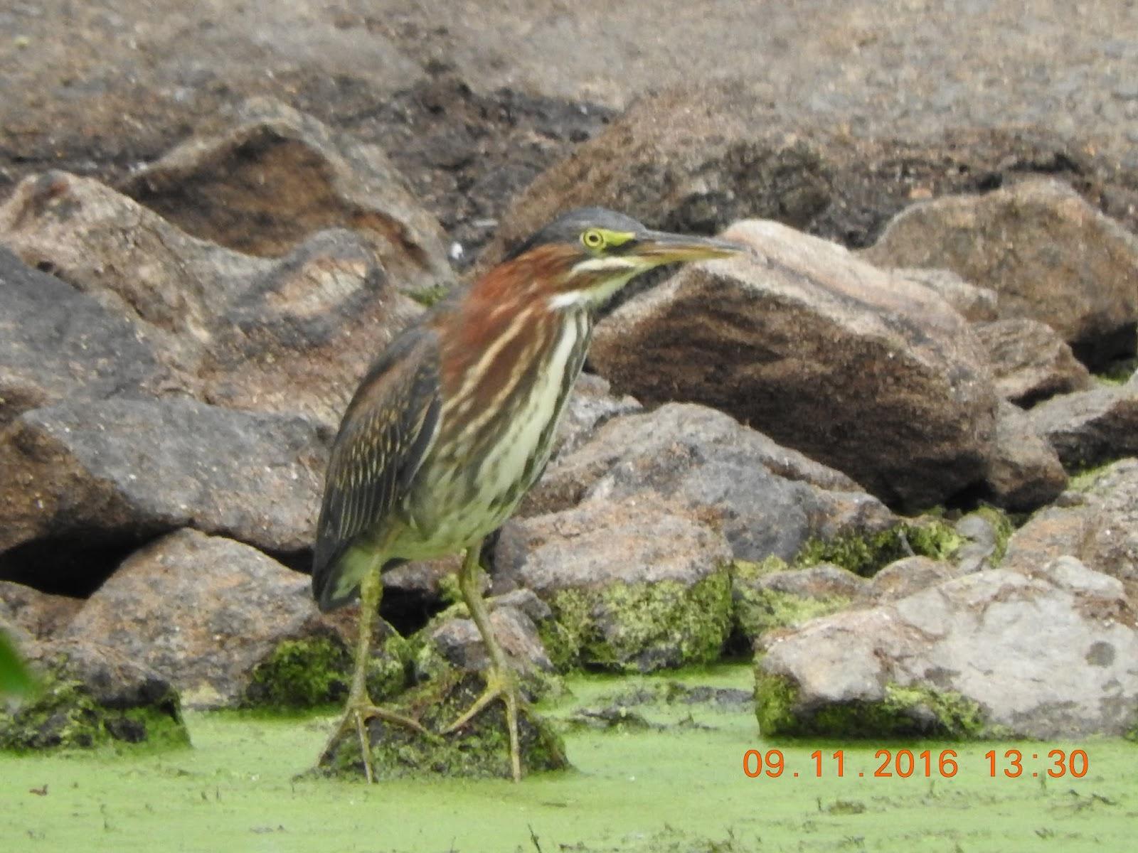 Steve's Birds: Broad-winged Hawk, Viceroy, Eisenhower, 9/11/16