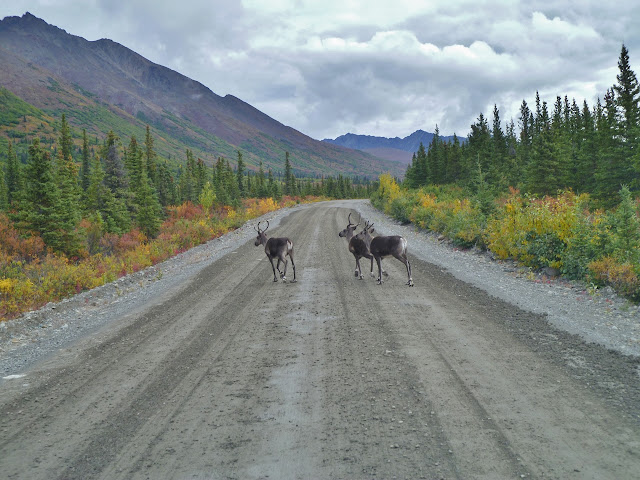 Elk on a road in Alaska with mountains, trees, and lots of colors
