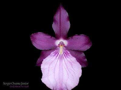 Orquídea Miltonia moreliana