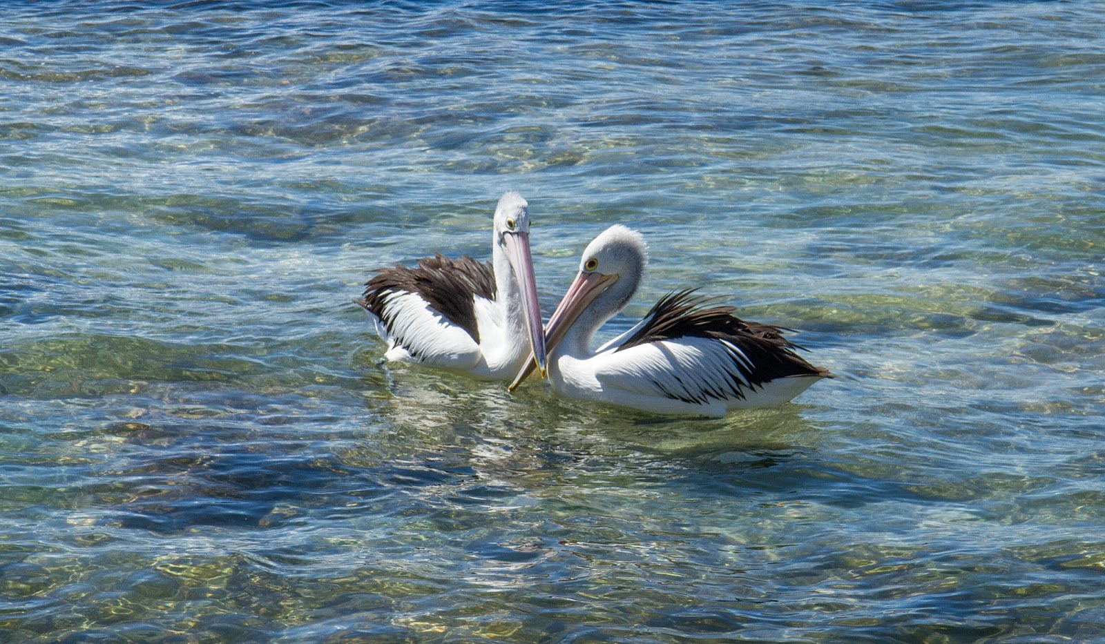 Pelicans at the Entrance, Australia