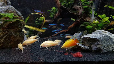 green neon tetras, albino cory catfish, and honey gourami in a 20-gallon planted community tank