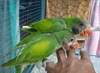 Burung Betet Anakan Bahan