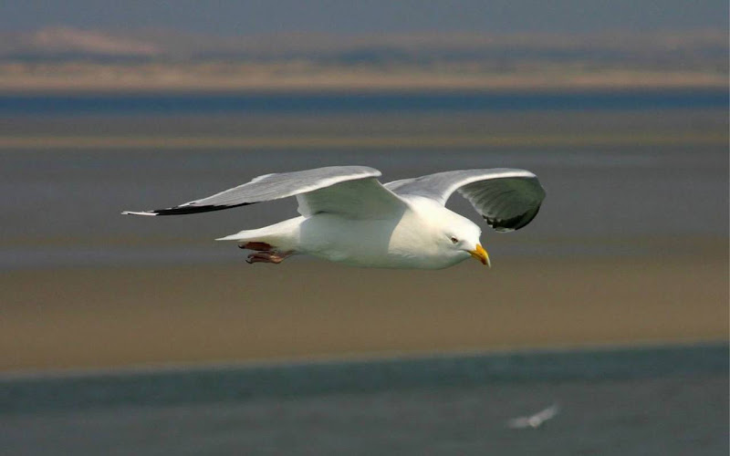 Beautiful Seagull Widescreen HD Wallpaper 7
