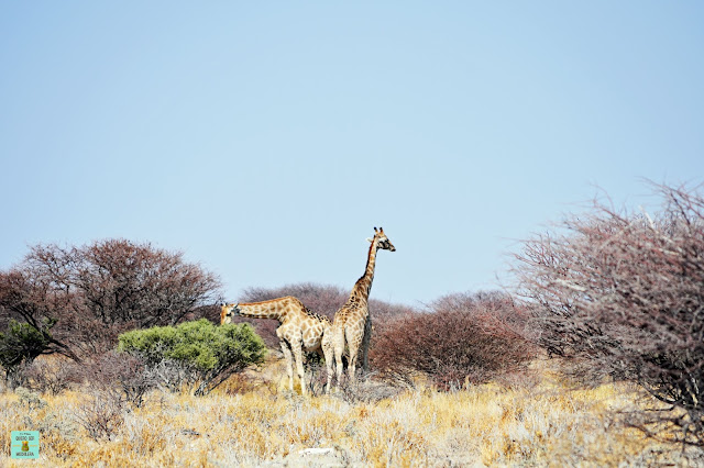 Jirafas en Parque Nacional de Etosha, Namibia