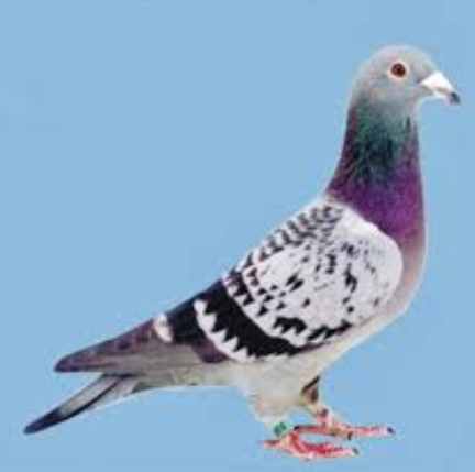 Gambar Burung Merpati Pos (Racing Pigeon) - Burung Pintar ...