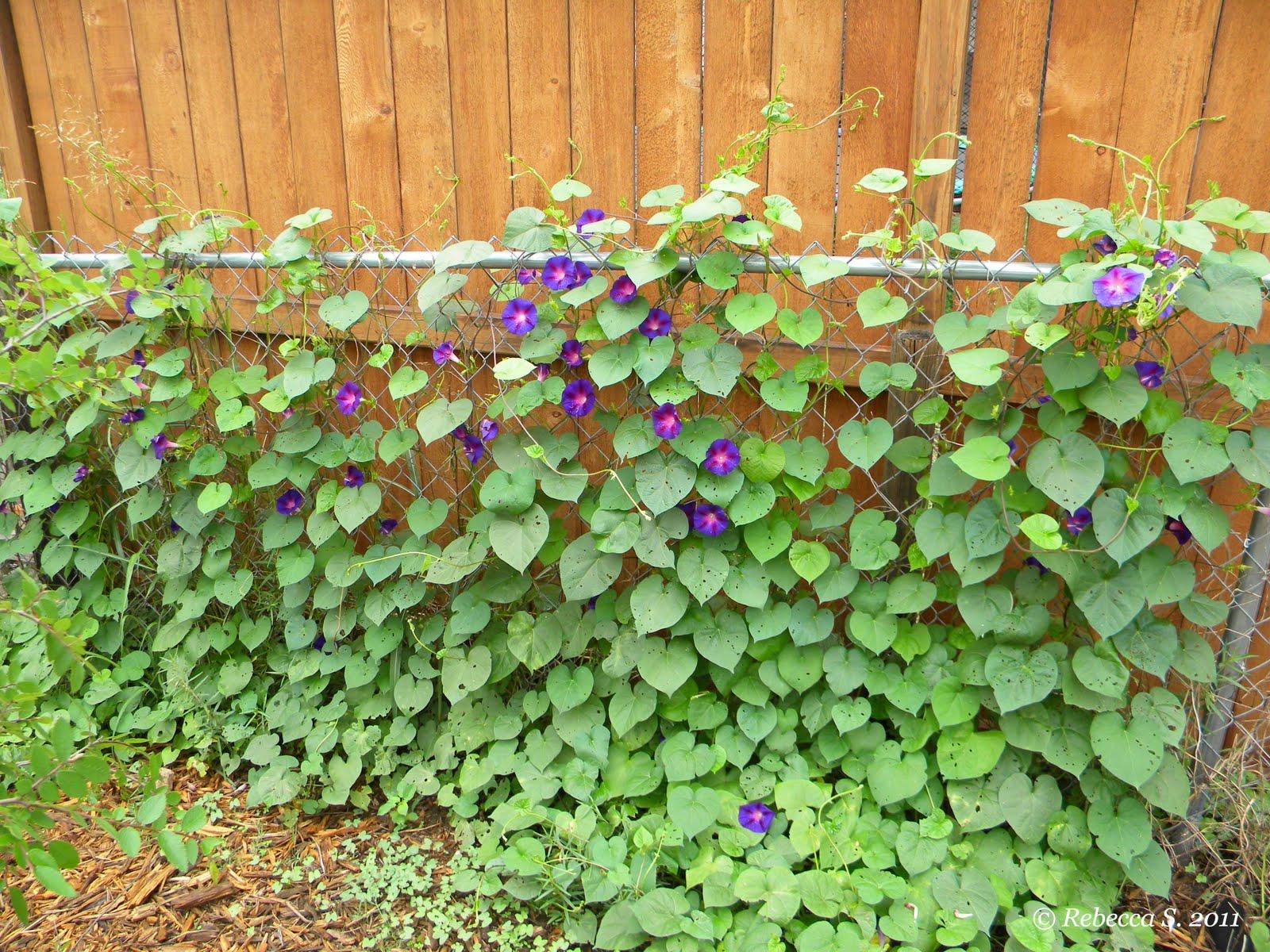 Morning Glory Vines Fence
