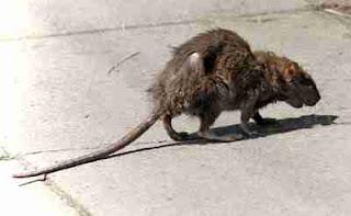 Kebiasan tikus yang jarang diketahui orang