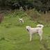 Δηλητηρίασαν ποιμενικούς σκύλους που συμμετείχαν σε παραγωγή του BBC για την Δυτική Μακεδονία