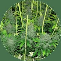 גידול ב SOG - sea of green - צמחים קטנים ורבים