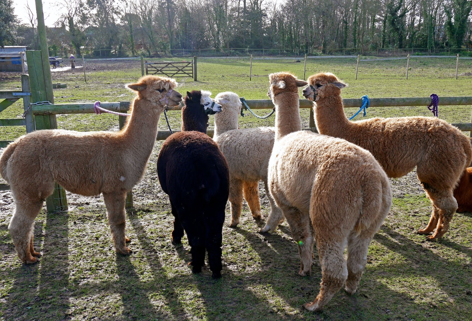 Alpacas at Quex Park in Birchington, Kent