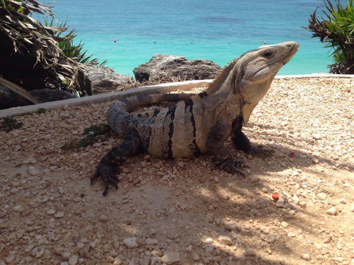 iguana, animals, nature, tulum, mexico, playa del carmen, mayan ruins