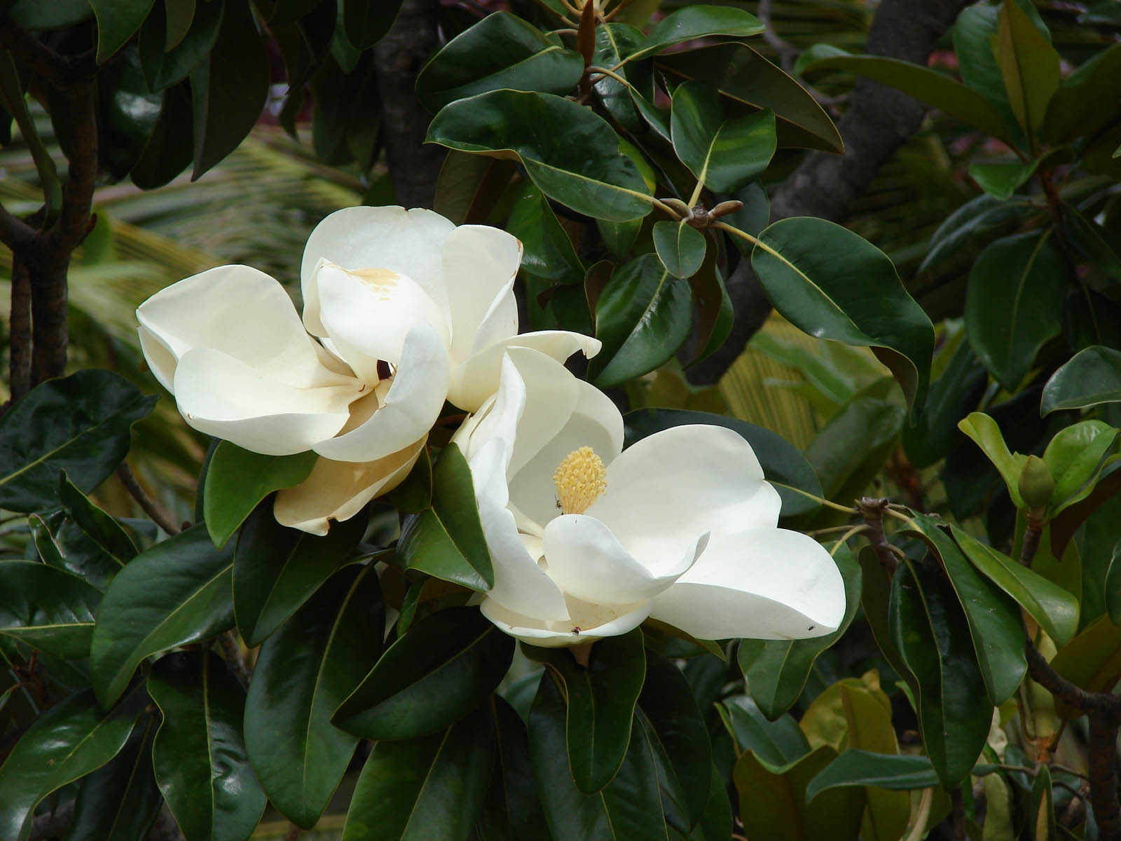 wallpapers southern magnolia flower wallpapers