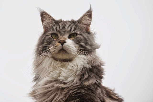 Should I Adopt A Cat With Fiv
