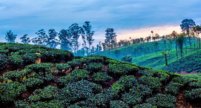 Landscape of tea plantation sunset