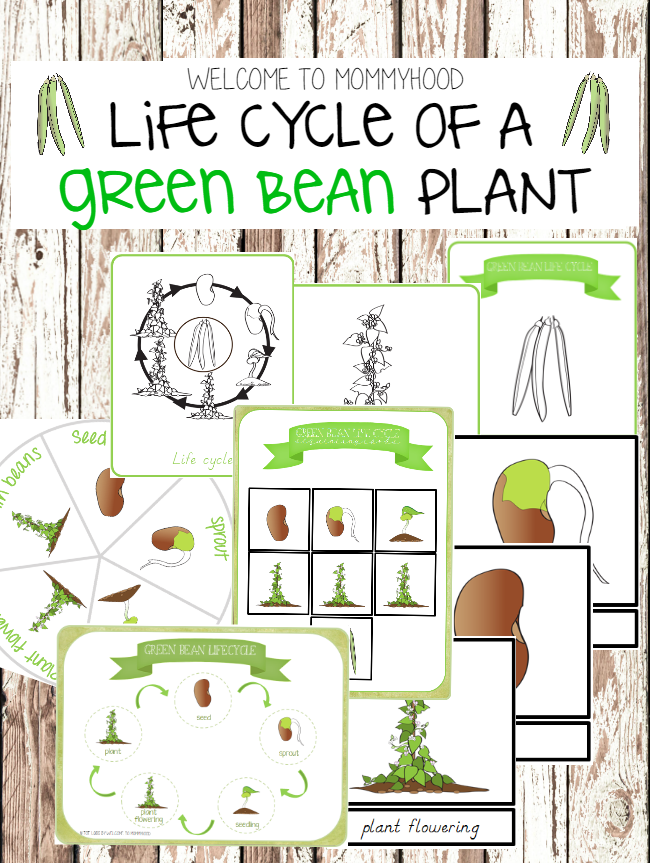 Montessori Activities - Green bean life cycle printables by Welcome to Mommyhood #lifecycleactivities, #montessori, #Montessoriactivities, #preschoolactivities, #springactivities,