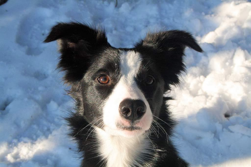 73 border collie hd - photo #8