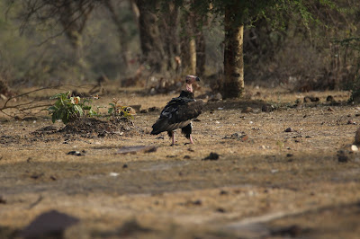 Vultures of Central India