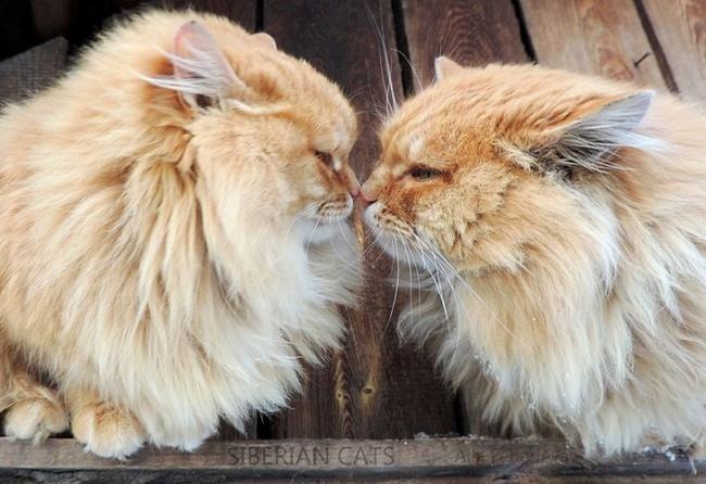 severe siberian cats