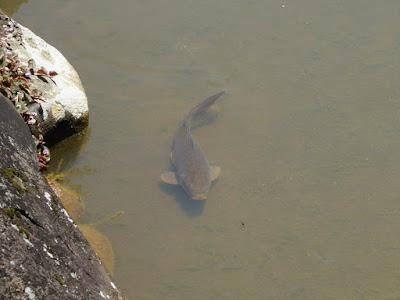 枚方市・市民の森(鏡伝池緑地)の鯉 アメンボ