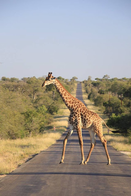 Jirafa en el Parque Kruger, Sudáfrica