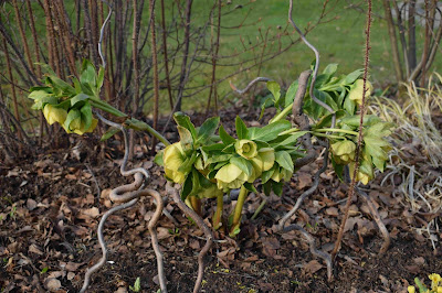 Helleborus x hybridus 'PS Sally'