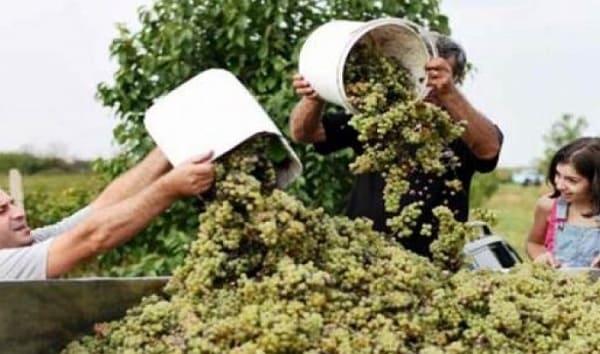 شركة تصنيع العنب بالسويداء تحدد موعد بدء استقبال المحصول من المزارعين؟