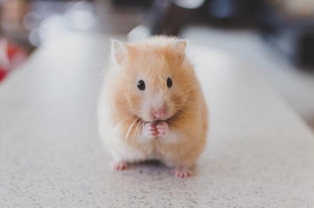 makanan-hewan-hamster