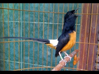 Burung Murai Batu - Cara Memaster Burung Murai Batu yang Paling Ampuh dan Efektif - Penangkaran Burung Murai Batu