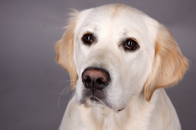 Golden retriever at risk for developing hemangiosarcoma