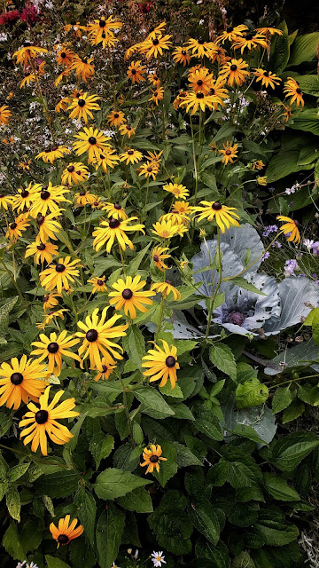 Yellow Rudebeckia and purple cabbage
