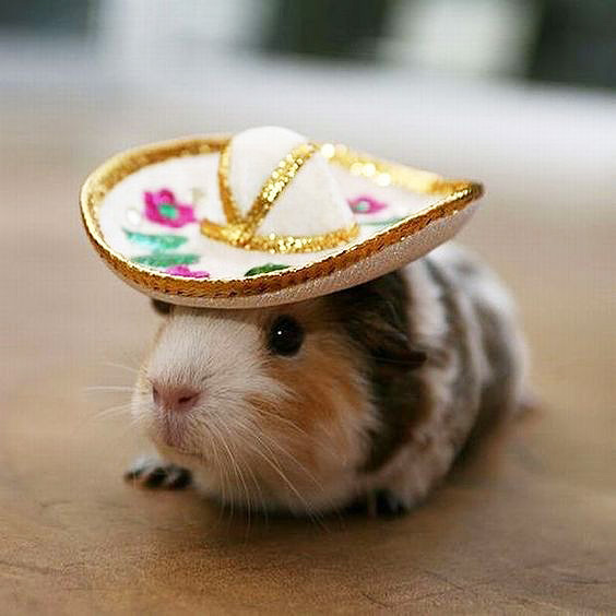 Lieve schattige foto van een cavia met sombrero
