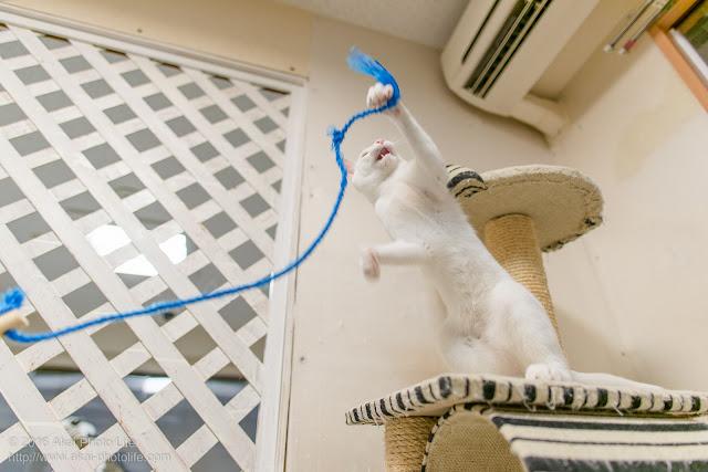 猫カフェ 西国分寺シェルターにいた白猫と紐で遊んでいると仁王立ちで紐にパンチしはじめました
