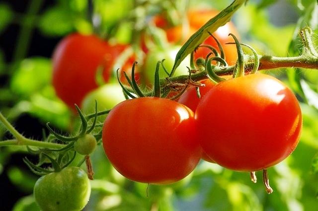 Calda Insecticida de folhas de tomateiro