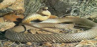 Έχει γεμίσει η Ελλάδα φίδια. Τι πρέπει να κάνετε μόλις το δείτε