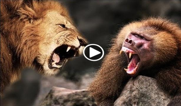 lion vs baboon