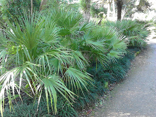 Trachycarpus tropical planting at Abbotsbury Subtropical Gardens