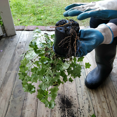 Repotting geranium/pelargonium step 1
